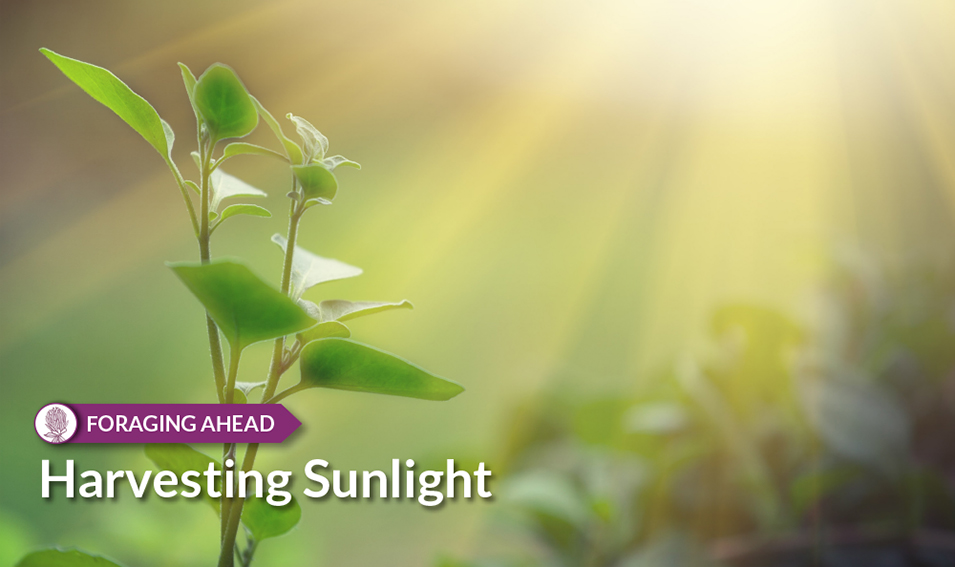Foraging Ahead: Harvesting Sunlight and productive pastures by Ragan & Massey
