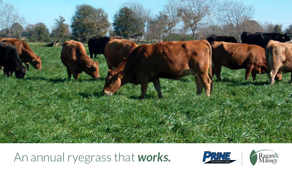 Prine Annual Ryegrass for forage production