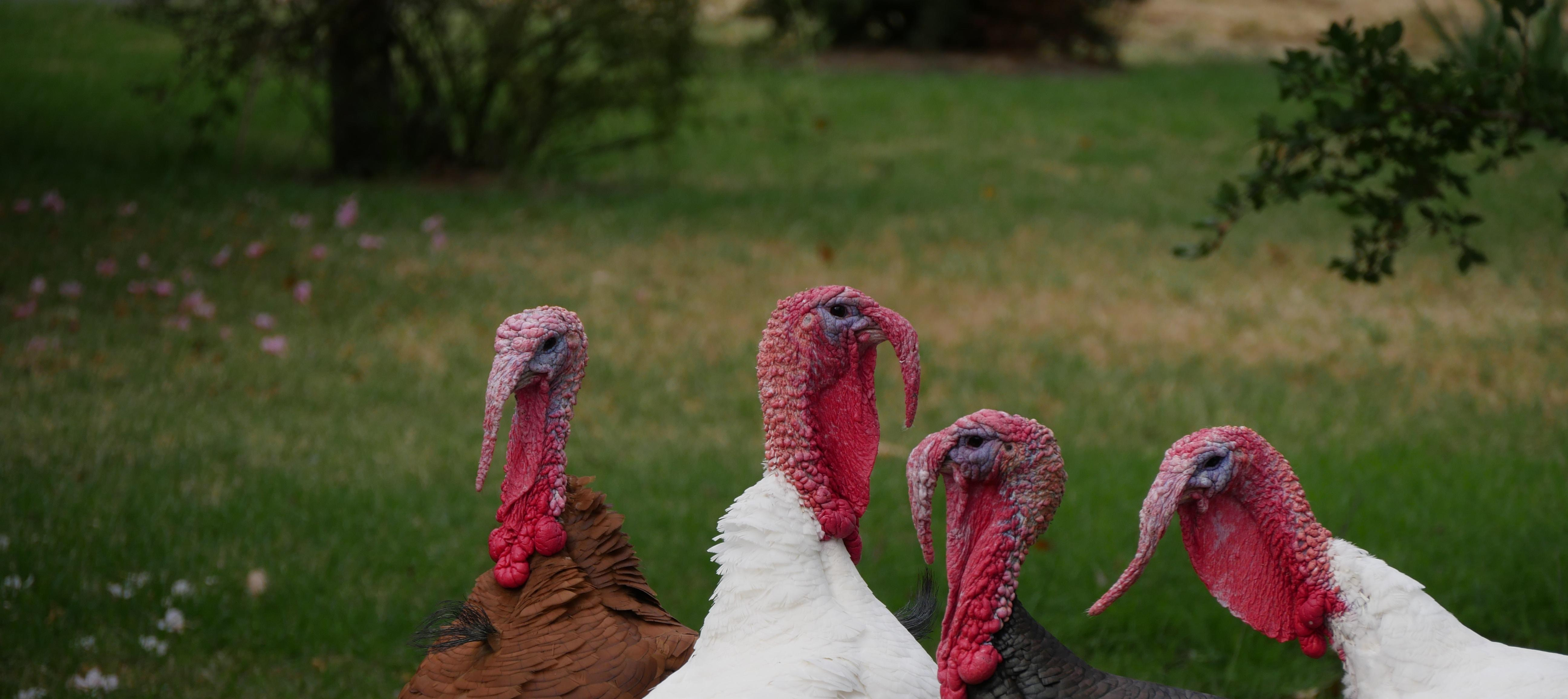 Let's Talk About The Turkey On Your Table